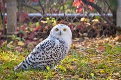 凝视照相机的斯诺伊猫头鹰 免版税库存图片
