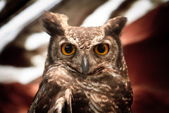 凝视照相机的猫头鹰纵向 免版税库存图片