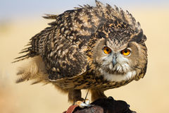 凝视照相机的猫头鹰 库存照片