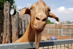 凝视照相机的画象羊魄的在农场 免版税库存图片