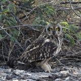 凝视照相机的短耳朵的猫头鹰 免版税库存照片