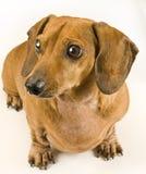 凝视照相机的逗人喜爱的韦纳狗小狗 免版税图库摄影