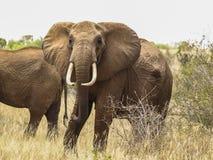 凝视照相机的通配大象在肯尼亚 图库摄影