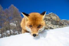 凝视照相机的Fox 免版税库存图片