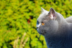 凝视牺牲者的英国短发猫 免版税库存照片