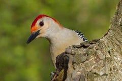 凝视的啄木鸟 免版税库存照片