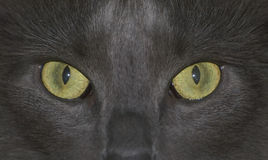 凝视的猫您 免版税库存照片