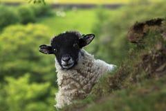 凝视的绵羊 免版税库存图片
