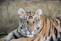 凝视的老虎,当休息时 库存图片