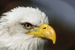 凝视的老鹰紧密  库存照片