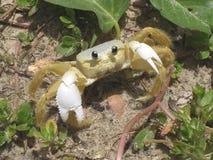 凝视的螃蟹您 免版税图库摄影