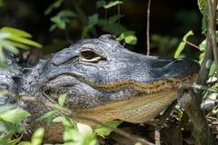 凝视的鳄鱼,大赛普里斯全国蜜饯,佛罗里达 免版税库存图片