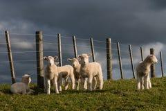 凝视羊羔 免版税库存照片