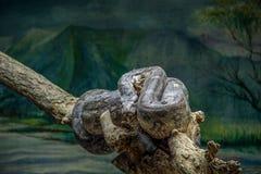 凝视蛇 免版税库存照片