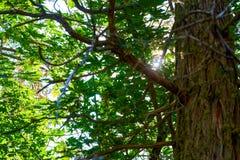 凝视通过一棵红木树的一个绿色机盖的太阳光芒在森林里 免版税库存照片