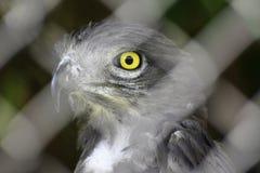 凝视通过笼子篱芭的军事老鹰polemaetus bellicosus 库存照片