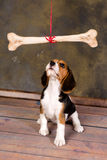 凝视骨头的小狗 图库摄影