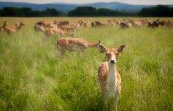 凝视鹿在都伯林菲尼斯公园 免版税库存图片