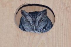 凝视从嵌套箱的内部西部尖叫声猫头鹰 免版税库存图片
