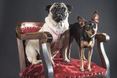 凝视直接入照相机的两条狗,当在一把庄严红色椅子时 图库摄影