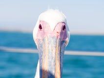凝视直接地入照相机的鹈鹕在鲸湾港,纳米比亚 克洛 免版税图库摄影