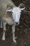 凝视直接地入照相机,新英格兰农场的绵羊 免版税库存照片