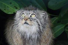 凝视从灌木下面的Pallas猫 库存照片
