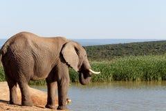 凝视水的非洲人布什大象 库存照片