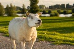 凝视绵羊画象  库存照片