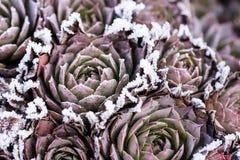 几与冰晶的冻houseleek sempervivum 图库摄影
