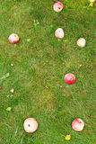 几个下落的成熟苹果在绿色草坪说谎 免版税库存图片