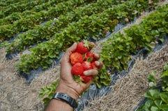 几个草莓 库存照片
