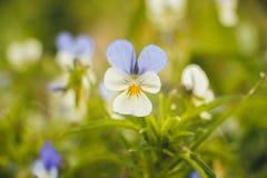 几个颜色和明亮的瓣一朵小美丽的花在草坪增长在村庄边缘 他在轻轻地沐浴 免版税库存照片