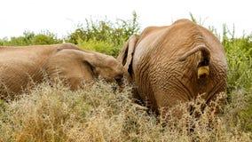 几乎做的Pooping -非洲人布什大象 免版税库存照片