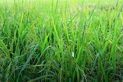 几乎充满活力的绿色生长粮食作物的收割期稻田的 库存图片