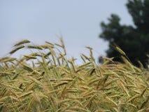 几乎准备好的大麦收获 库存照片