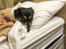 几乎在床上的困幼小狗 免版税库存照片