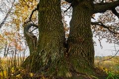 几乎在退色的领域的不生叶的老橡树的片段在一个多云晚上 老橡木吠声,犁由镇压和地衣 免版税库存照片