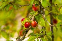 几乎成熟布拉斯李树树 库存图片