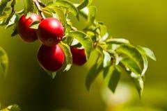 几乎成熟布拉斯李树树 免版税库存图片