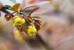 几乎没有被孵化的小黄色花 库存照片