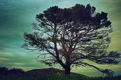几乎死的树 免版税库存图片