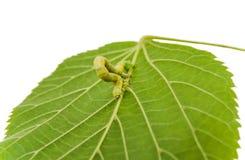几何学家冬天飞蛾Operophtera brumata幼虫或毛虫  库存图片