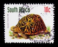 几何草龟(Psammobates geometricus),动物serie,大约1998年 免版税库存图片