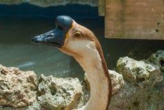 几内亚天鹅鹅,与黄色 库存图片
