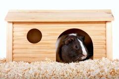 几内亚房子猪小木 图库摄影