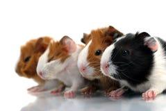 几内亚新出生的猪 免版税库存照片