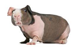 几内亚无毛的猪 免版税库存图片