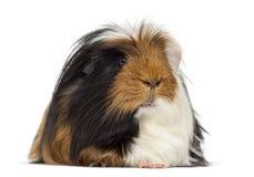 几内亚查出的猪白色 免版税库存图片
