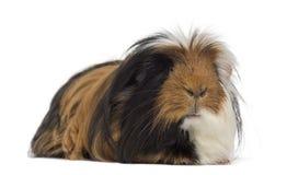 几内亚查出的猪白色 库存图片